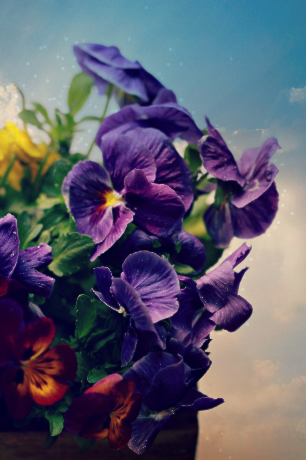 ©Purple Pansies by Dena T Bray