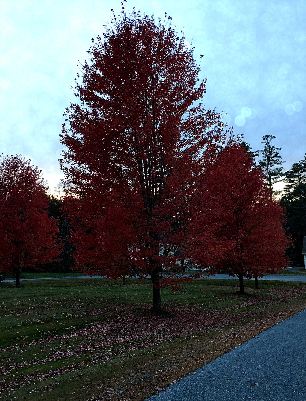 © Red Tree At Dusk by Dena T Bray
