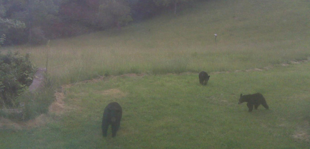 A family of bears on the retreat land owned by Tsogyelgar in West Virginia. Here yogis live in solitary mountain retreat dedicating themselves to extensive practice and yogic activity.