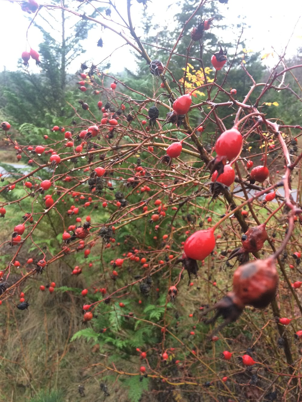 Rosehips: a favourite andfree local tea plant