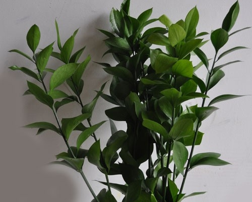 Israeli Ruscus: - Season: year roundRelated to italian ruscus, israeli ruscus also provides a sturdy stem and a hardy nature, but it's slightly shorter, stockier, and a little more full bodied, which makes it ideal for bridal bouquets and other smaller arrangements. On larger arrangements or installtions, make sure you pair it with other shades of greenery to provide diversity and depth. Doing so will cause your florals to