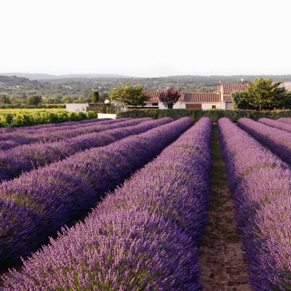 lavendar fields.jpg