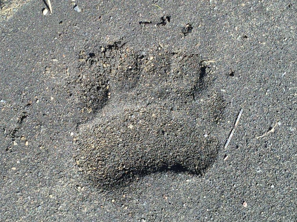Bear paw print.jpg