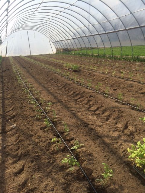 Cornman Farms Hoop House Extends The Michigan Growing Season