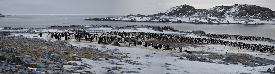 Adelie penguin rookery on Torgerson Island, Antarctica.