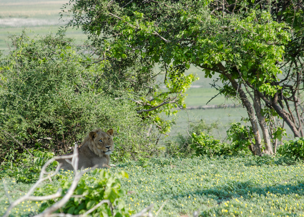 Male lion that lives around this camp, he is blind in one eye.
