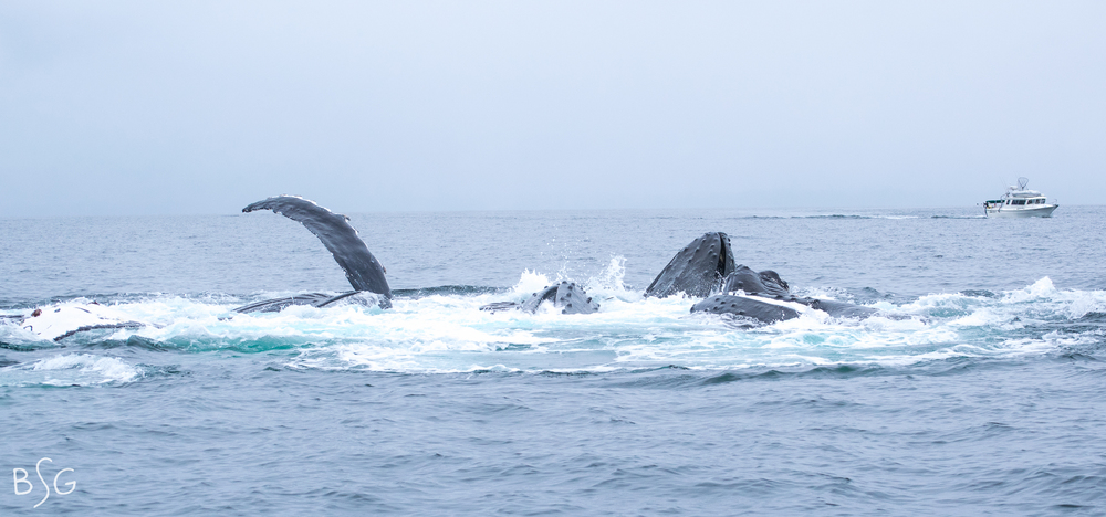 The humpback whales begin to surface to our left.  Their movements were incredibly graceful and deliberate.