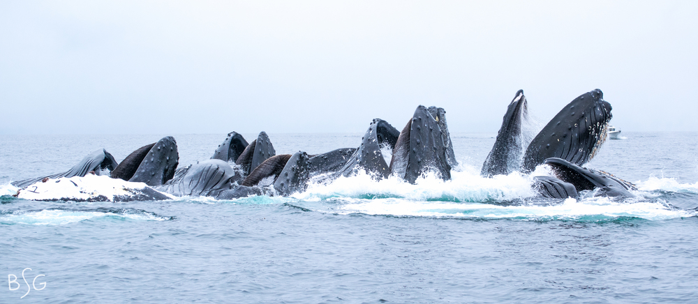 Eight humpbacks break the surface together with their enormous haws and elastic pleated throats. The ninth humpback surfaced shortly after to the right. Click to enlarge the image and count all eight whales! Also, what's up with that perfect number one on the flipper at the far left?