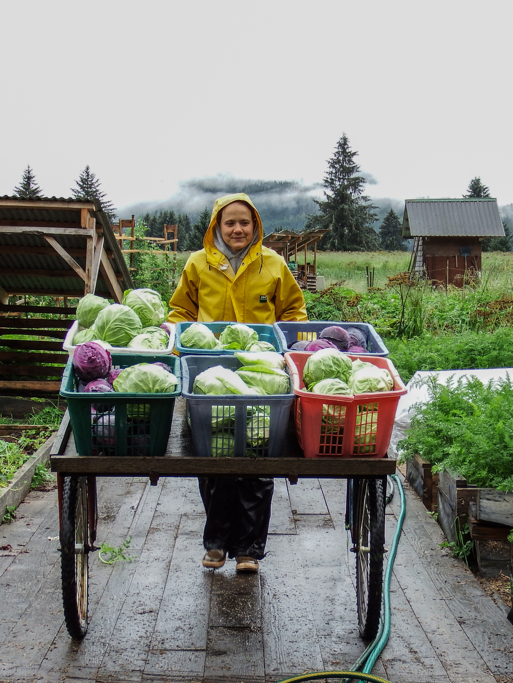 Marja pushes a cart full of freshly picked cabbages. The cart is made of old mountain bike tires and is good for pushing vegetables and materials around the farm's (sometimes rough) pathways. Photo by Matt Kern.