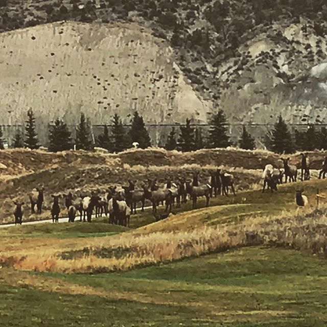 The elk are back #elkinmyhood #stillgetsurprised #coloradoliving