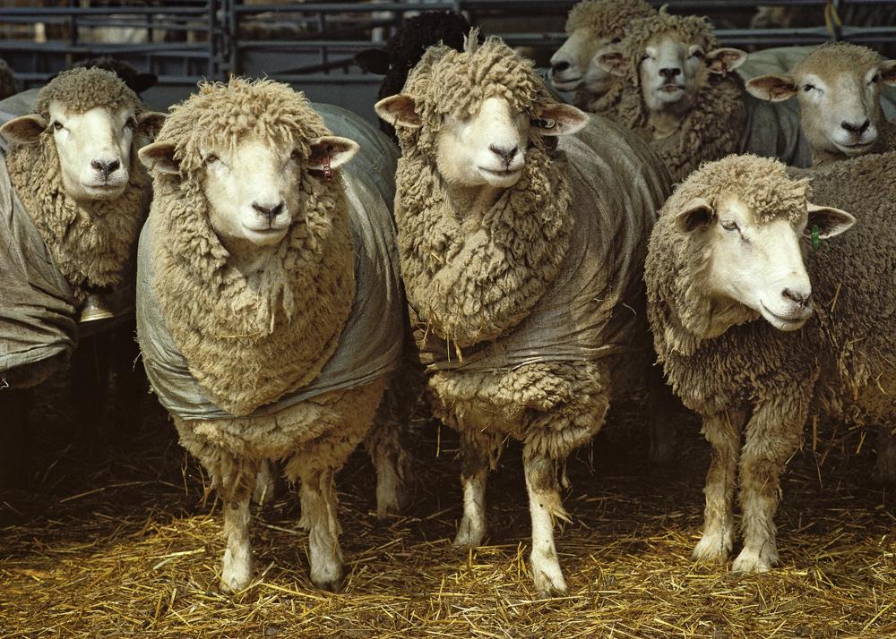 sheep for Wraparound category B-1