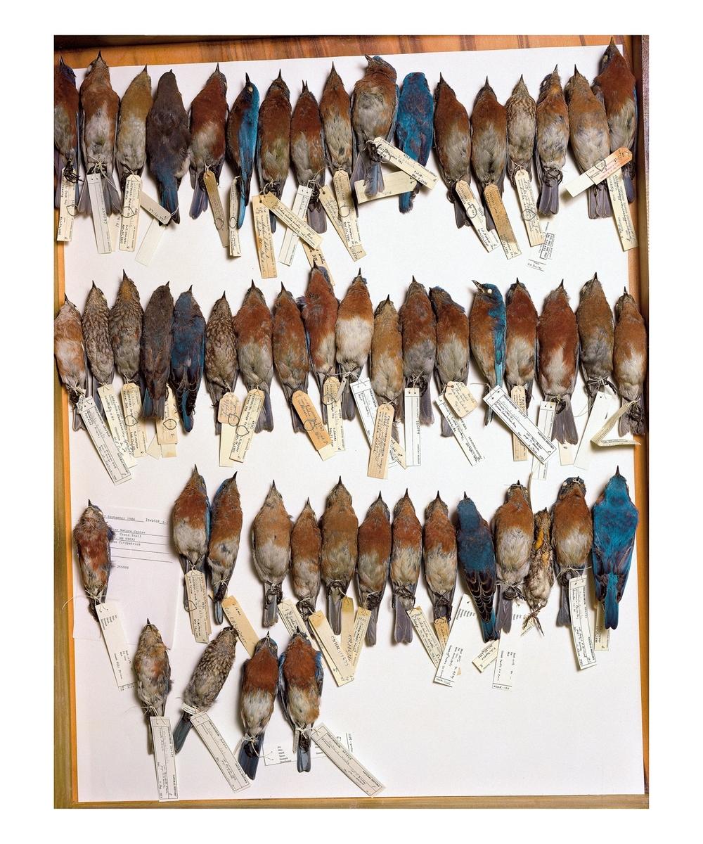 bluebirds44.jpg