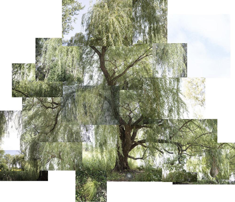 Terry EvansWillow Tree 9-18-18.jpg