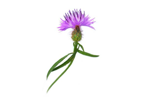 Milk Thistle - Milk thistle contains silymarin and silybin, antioxidants that are known to help protect the liver from toxins, including the effects of alcohol. It also gently cleanses and detoxifies the liver as well.