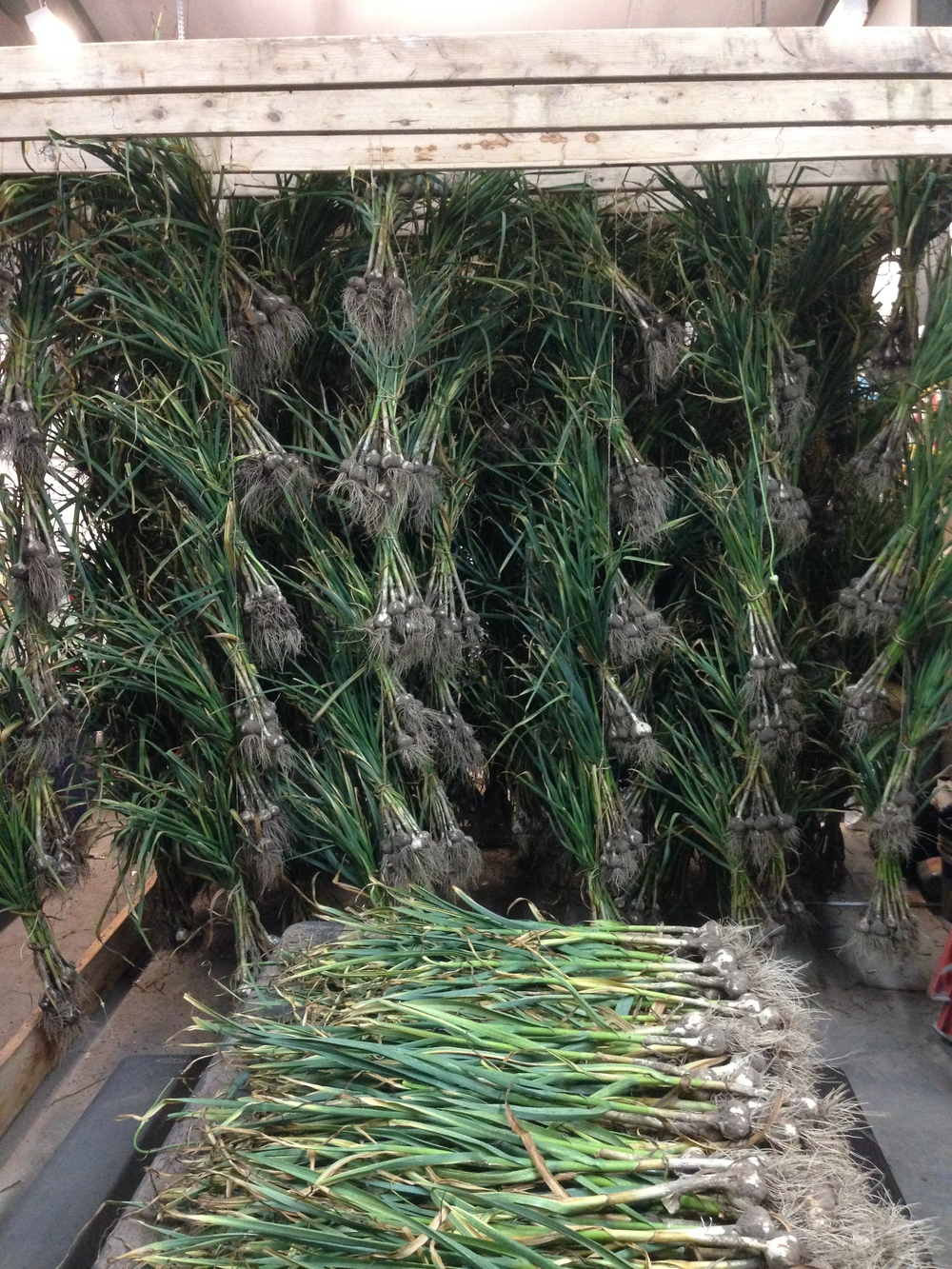 Harvested garlic on the drying rack