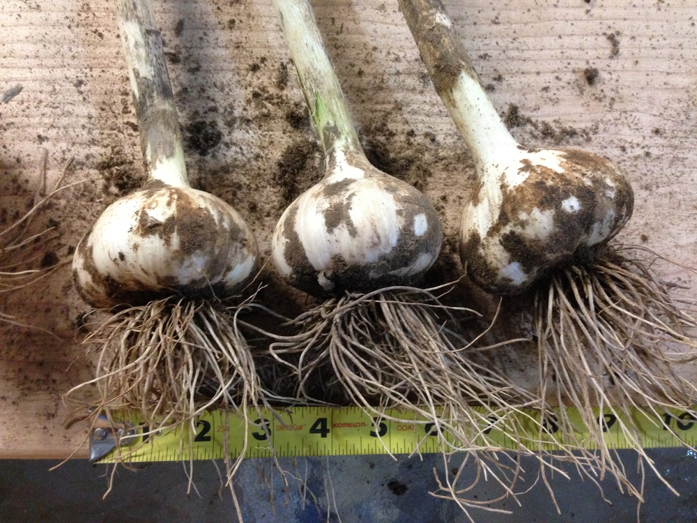 Pulling some amazing plump bulbs!