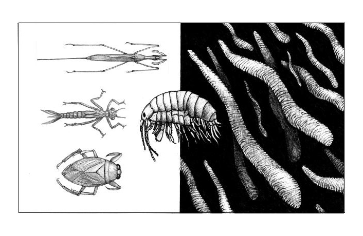 Illustration by Dr. Larry Stevens of endemic species found in Montezuma Well, Arizona. Coutnerclockwise from upper left: Ranatra montezuma, Telebasis salva, Belostoma bakeri, Hyalella montezuma (center), Motobdella montezumensis.