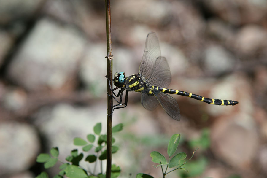 The Apache spiketail dragonfly. Photo courtesy of Terry Wright.