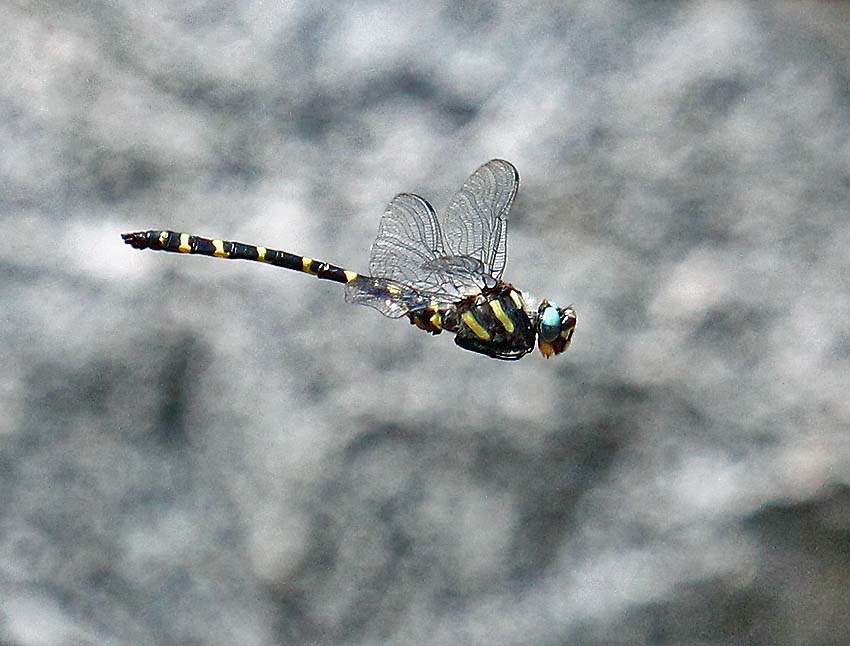 Apache spiketail dragonfly in flight. Photo courtesy of Martin Reid.