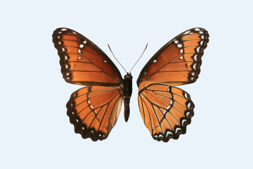 Split view of the dorsal and ventral sides of the Southwestern viceroy butterfly. Image by Tom Cheknis.