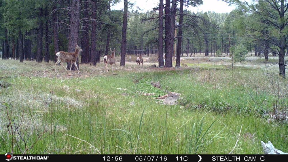 Is the coyote chasing the deer, or vice-versa?