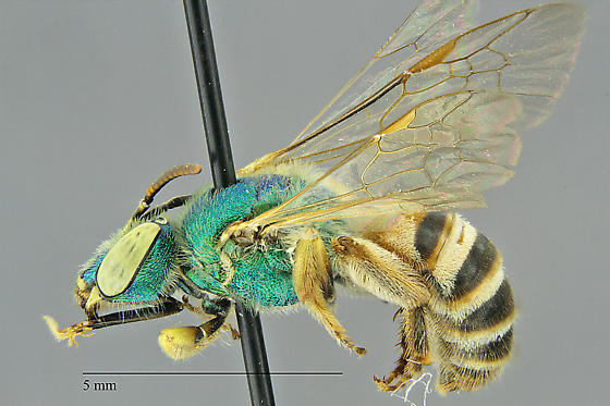 Agapostemon melliventris Collected in GCNP. Photo by Gary Alpert.