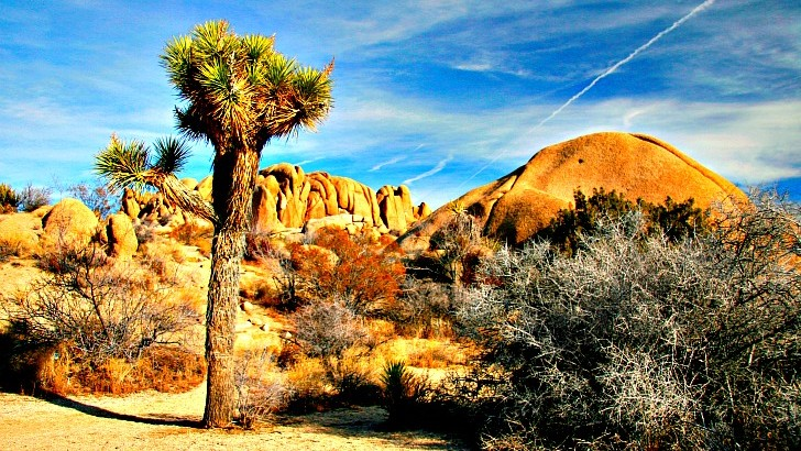 Joshua Tree National Park. Home of the Yucca brevifolia or Joshua tree. Several park names were bandied about before landing on Joshua Tree: Land of Odd Trees, A Desolate Place and my favorite The Desert.