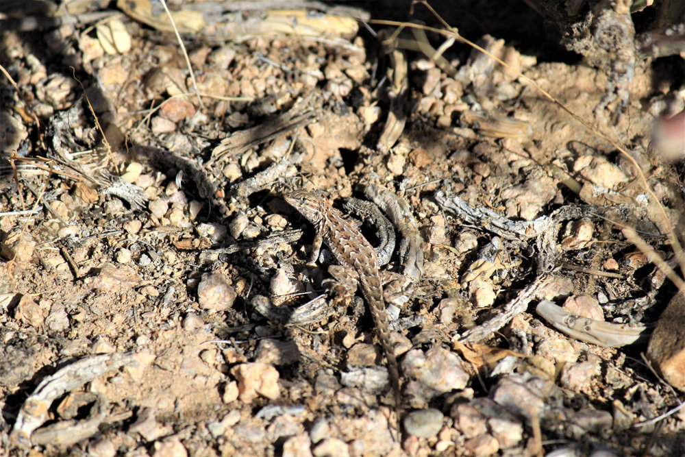 I wasn't quick enough to get a shot of the jack-rabbit, but somehow this lizard stood still long enough for me to get a shot. He also gave me the stink eye. It's a reoccurring theme.