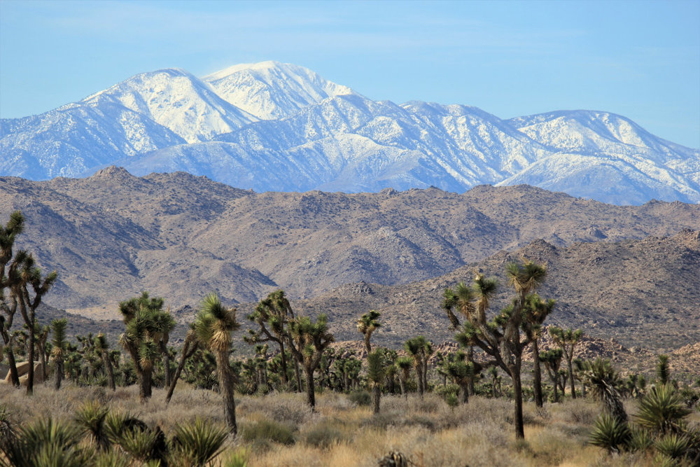 A forest of Joshua trees, dwarfed by the Little San Bernardino range. Mormons thought the tree looked like Joshua, with his arms raised in prayer, because Dr. Suess wasn't born yet
