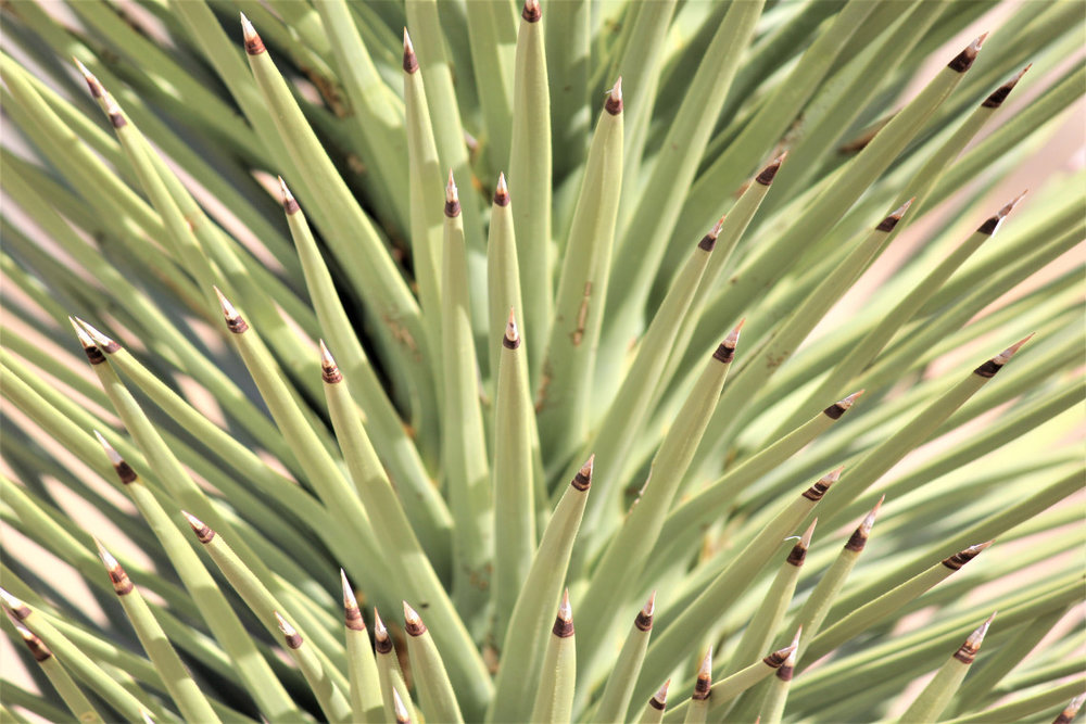 A Mojave yucca. Lime green perfection, dipped in chocolate.