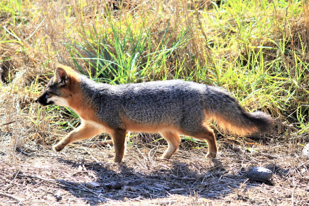 Santa Cruz Island fox. About the size of a large house cat. The bushy tail of a grey fox I saw in Guadalupe Mountains NP was larger than this tiny fox.