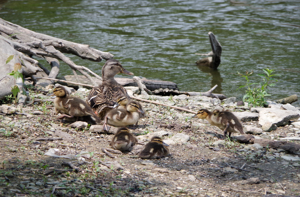 ducklings.jpg