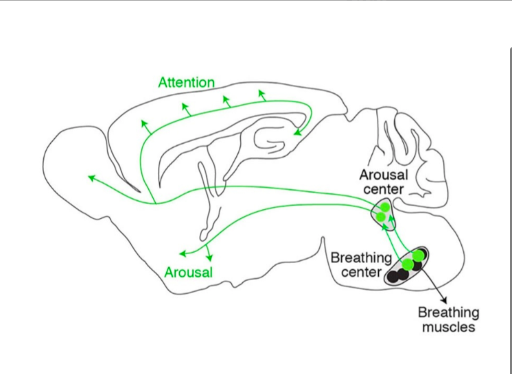 "Depicts the pathway from the neural cluster or ""pacemaker"" for breathing to the rest of the brain."