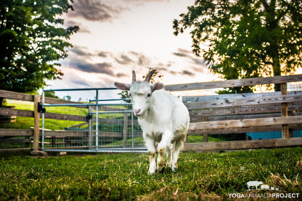 Levi, Farm Sanctuary, Watkins Glen, New York