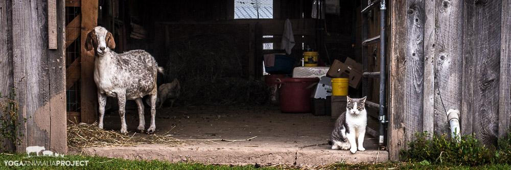 Maddie & Lovebug, Indraloka Animal Sanctuary, Mehoopany, Pennsylvania
