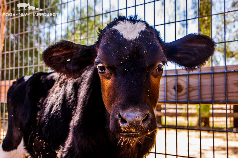 Oreo, Farm Sanctuary's Animal Acres, Acton, California    One of my earliest, and personally poignant, portraits of Oreo calf to whom we had to say goodbye due to   irreparable health issues a month after this photo was taken.