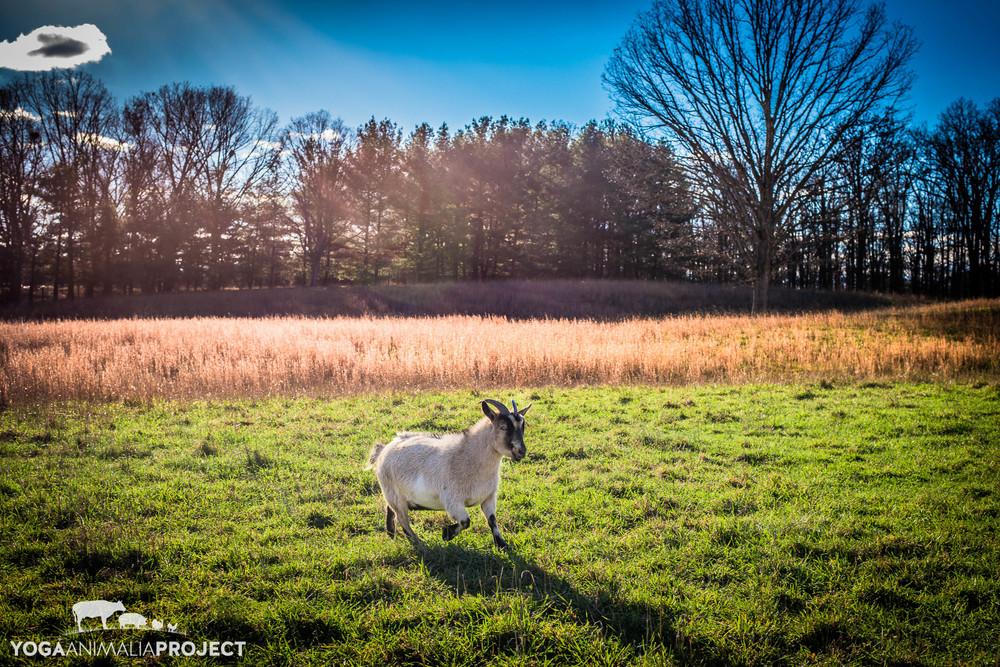 Sweet Pea, Peaceful Fields Sanctuary, Winchester, Virginia