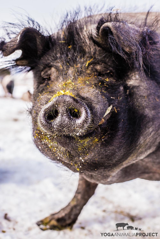 Hairy Bob, Ching Farm Rescue & Sanctuary, Herriman, Utah