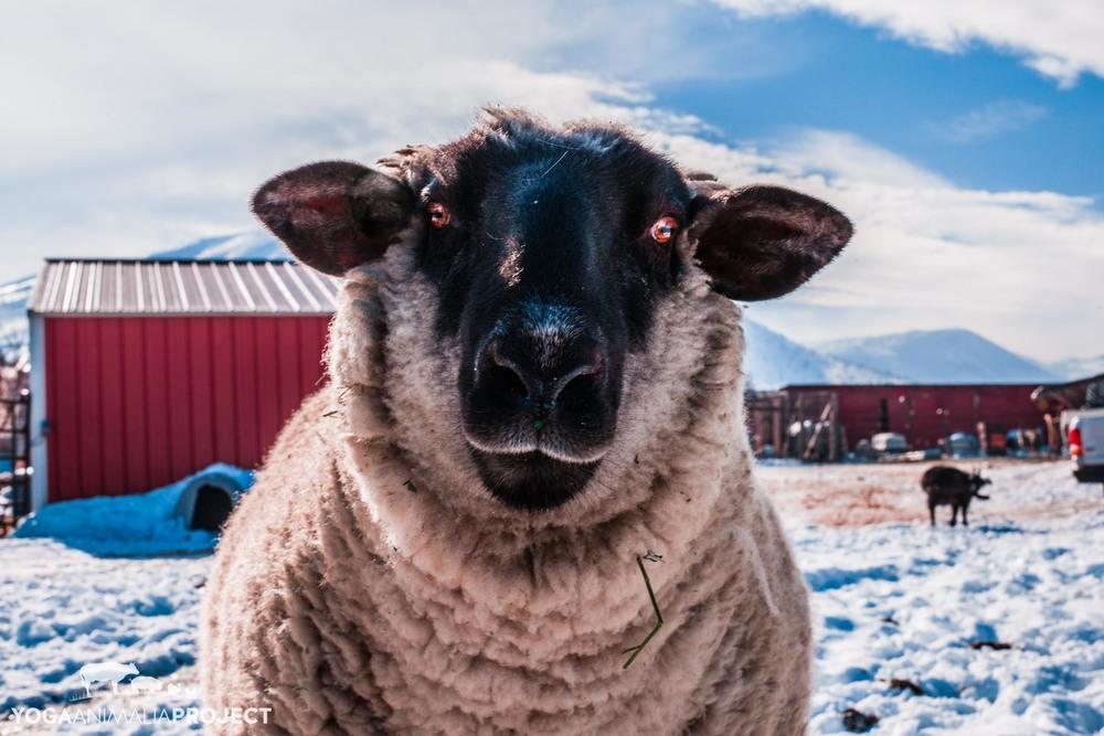 Costailo, Ching Farm Rescue & Sanctuary, Herriman, Utah
