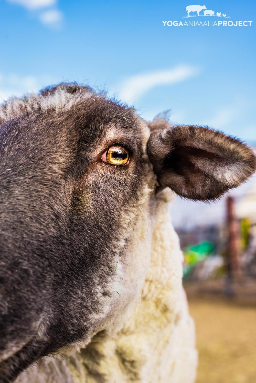 Abbott, Ching Farm Rescue & Sanctuary, Herriman, Utah