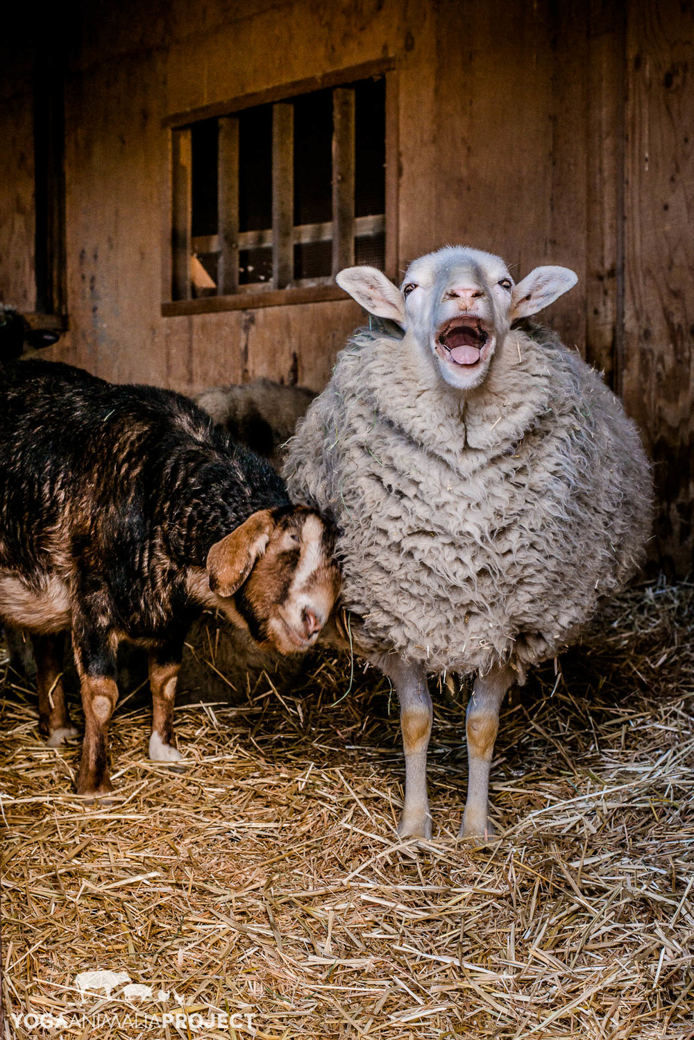 Sofie and Bela, Farm Sanctuary's Animal Acres, Acton, California