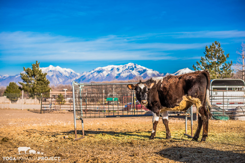 Sven, Ching Farm Rescue & Sanctuary, Herriman, Utah