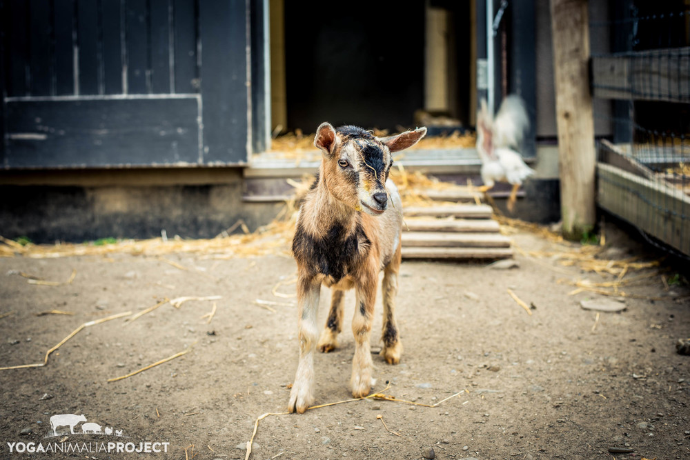 Avery, Farm Sanctuary, Watkins Glen, New York