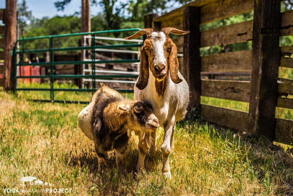 Charlene & Laura - excuse us human, we are busy, Animal Place, Grass Valley, California
