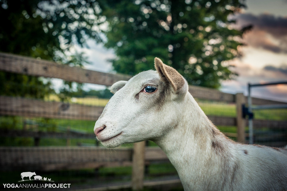 Romy, Farm Sanctuary, Watkins Glen, New York