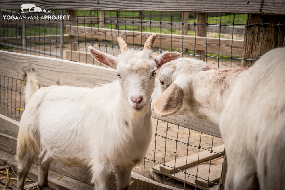 Levi & Romy, friends for life, Farm Sanctuary, Watkins Glen, New York
