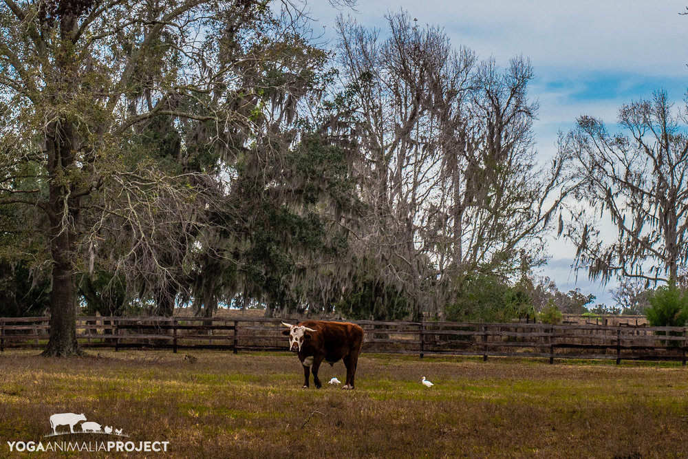Yoga Animalia: Bovine - Owen Kindred Spirits Sanctuary, Ocala, Florida