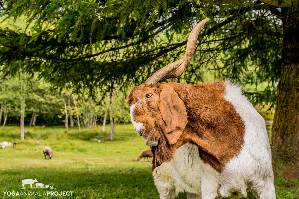 Jake, New Moon Farm Goat Rescue & Sanctuary