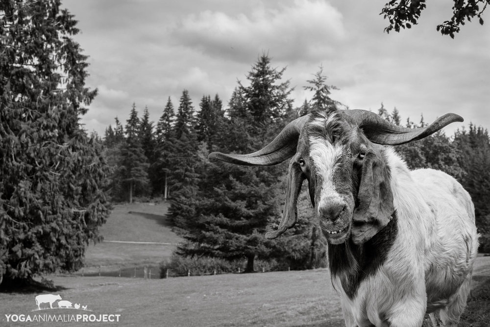 Yoga Animalia: Caprine - Jake,    New Moon Farm Goat Rescue & Sanctuary , Arlington, Washington