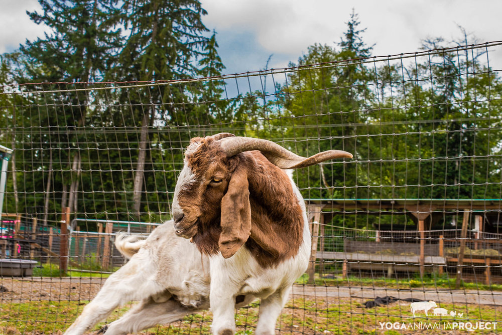 Jake assisting in the demolition of sanctuary property, aka the best goat scratching area, or rather, anywhere convenient when an itch occurs.